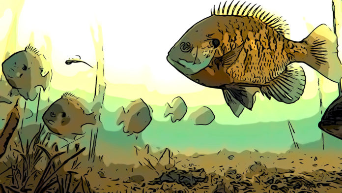 Bluegill fishing - The Trill of the Gill feature