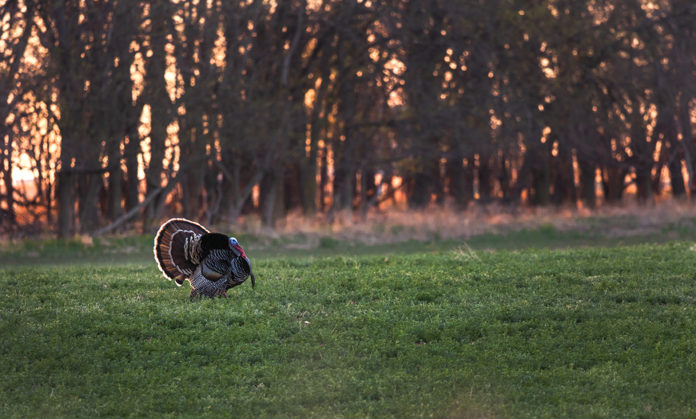 turkey hunting rob keck feature